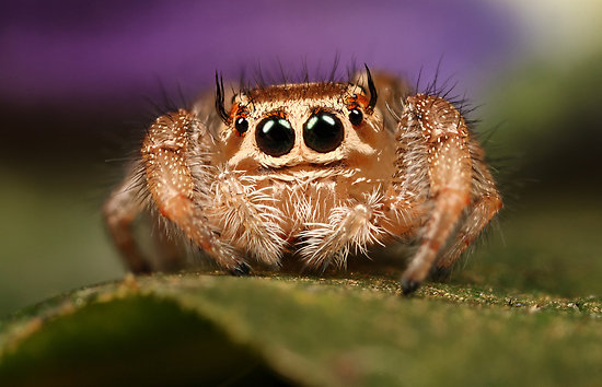 0_1482238443514_jumping-spider-another.jpg